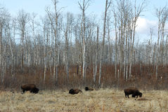Wild bison on meadow Stock Photo