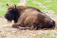 Wild bison Stock Images