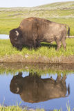 Wild Bison reflections in a clear blue lake. Stock Photography