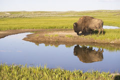 Wild Bison reflections in a clear blue lake. Stock Photo
