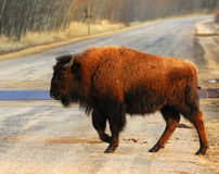 Wild bison on the road Royalty Free Stock Photo