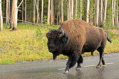 Wild bison Stock Photos