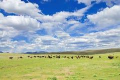Wild bison's Stock Photos