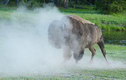 Wild Bison shaking dust from his body. Royalty Free Stock Image