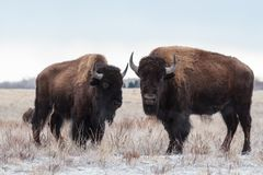 Wild Bison Standing in the Colorado Snow Royalty Free Stock Photos