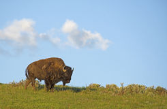 Wild Bison stands on a hill against a clear blue sky. Stock Photography