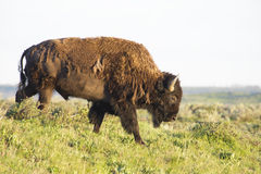 Wild Bison stands on a hill against a clear sky. Royalty Free Stock Images