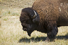 Wild Bison in Yellowstone royalty free stock image