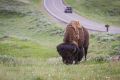 Wild bison in yellowstone Royalty Free Stock Photo