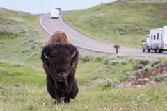 Wild bison in yellowstone Stock Photography