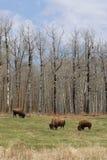 wild bisonflock Arkivbilder