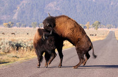Wild Bisons Royalty Free Stock Photo