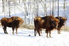 Wild bisons Stock Images