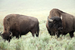 Wild Bisons Stock Photography
