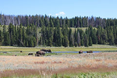 Wild Bisons Royalty Free Stock Images