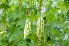 Wild Bitter Gourd, Bitter Cucumber,Bitter Gourd in garden. Royalty Free Stock Photo