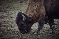 Wild bizon weidend gras stock foto's