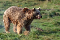 wild björn Arkivfoton