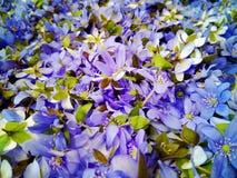 wild blåa blommor Arkivbilder
