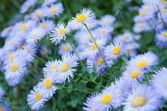 wild blåa blommor för asters Royaltyfria Bilder