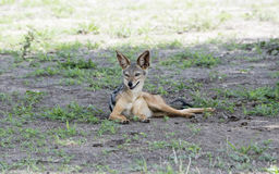 Wild Black-backed Jackal Canis mesomelas on the Serengeti in Tanzania Royalty Free Stock Photo