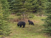 Wild Black Bear family in Jasper National Park Alberta Canada Royalty Free Stock Photography