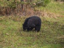 Wild Black Bear family in Jasper National Park Alberta Canada Stock Photography