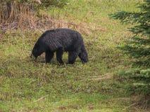 Wild Black Bear family in Jasper National Park Alberta Canada Royalty Free Stock Photos
