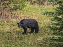 Wild Black Bear family in Jasper National Park Alberta Canada Royalty Free Stock Image