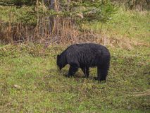 Wild Black Bear family in Jasper National Park Alberta Canada Royalty Free Stock Images