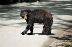 Wild black bear on the road Stock Photo