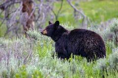 Wild black bear. Sow near the Idaho, Wyoming border, USA Stock Photos
