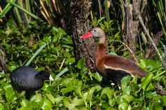 A Wild Black-bellied Whistling Ducks (Dendrocygna autumnalis) Feeding in the Water Hyacinth with a Black Coot. Stock Images