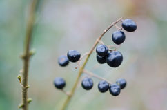 Wild black berries close up. Hanging from a branch in the park Royalty Free Stock Image