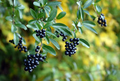 Wild black berrys. Wild berrys in authumn colors royalty free stock photography