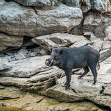 Wild black boar stand on rock. And riverside stock images