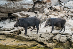 Wild black boar stand on rock Stock Photos