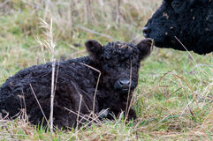Wild black bovine calf lying on the grass with caring mother Stock Image