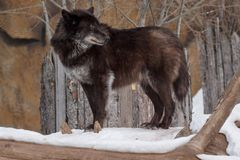 Wild black canadian wolf is looking for his new victim. Animals in wildlife. In the winter forest Royalty Free Stock Photography