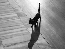 Wild Black Cat-bw. Wild black cat (photo is bw too) walking on a marble floor. Shadow is nice Stock Photos