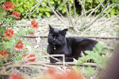 Wild black cat Stock Image