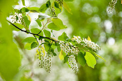 Wild black cherry blossoms in spring Stock Photo