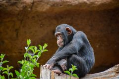 Black Chimpanzee Mammal Ape. Wild Black Chimpanzee Mammal Ape Monkey Animal stock photos