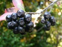 Green black chokeberry and natural background royalty free stock photo