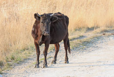 Wild black cow. Standing in the middle of road Stock Photos