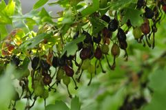 Wild black currant growing on a bush household royalty free stock images