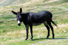 Wild black donkey in a pasture Royalty Free Stock Image