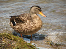 Wild Black Duck on the shore. Black Duck with feet in water, searching for food stock photos