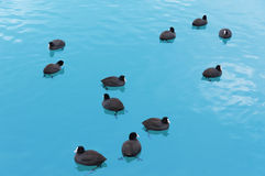 Wild black ducks floating in open water Royalty Free Stock Photos