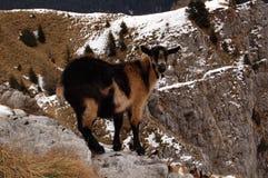 Wild Black goat Stock Photo